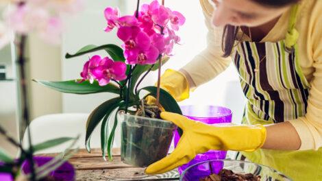 Így lesz gyönyörű az orchideád!